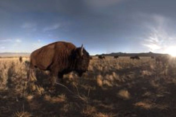 Seeing American Bison in Virtual Reality