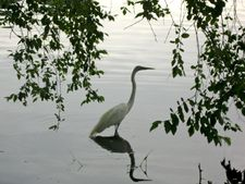 Great Egret in Prospect Park: