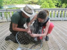 Cygnet rescue from barbed hook by Martin Woess and Anne-Katrin Titze at the Boathouse in Prospect Park