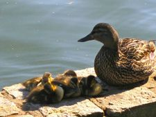 The Wild Duck with her ducklings in Prospect Park